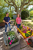 Young woman and young man pushing a cart and a wheelbarrow with flowers in pots: Pelargonium with large flowers (Pelargonium grandiflorum), Tickseed (Coreopsis sp), Chamomile (Anthemis sp) in the garden, Provence, France