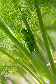 Fennel sprout in the garden, Provence, France
