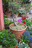 Olive 'Verdale' with mulch of grass and forget-me-not, Vegetable garden, Provence, France