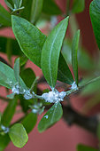 Olive Psylla (Euphyllura olivina), Vegetable garden, Provence, France