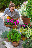 Girl and New Guinea Impatiens (Impatiens hawkeri) in a pottery, Vegetable garden, Provence, France