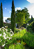 Rose 'Iceberg' and Cypress of Provence (Cupressus sempervirens) in front of a farmhouse, Provence, France