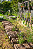 Cagettes protecting sowing of the sun, Vegetable garden, Provence, France