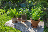 Collection of pots of herbs: basil, sage, mint, Garden, Provence, France