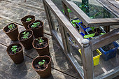 Basil Seedlings and tiny greenhouse, Vegetable Garden, Provence, France