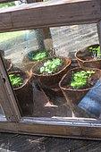 Basil Seedlings, Vegetable Garden, Provence, France