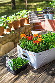 Marigold (Tagetes sp) and Salad container, Vegetable garden, Provence, France
