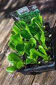 Salad container 'Craquerelle du midi', Vegetable garden, Provence, France