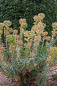 Euphorbia (Euphorbia characias), Garden, Provence, France