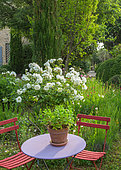 Mint pot and pruner on a round garden table, chair and rosebush 'Iceberg', Garden, Provence, France
