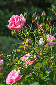 Roses buds and flowers, Garden, Provence, France