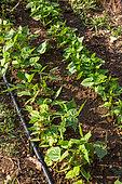 Bean seedlings, Vegetable garden, Provence, France