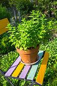 Mint pot on a garden chair, Provence, France