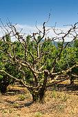 Dead cherry, Garden, Provence, France