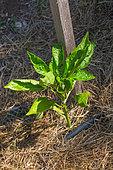 Pepper Plant, Vegetable Garden, Provence, France