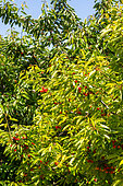 Cherry tree with chlorosis, Garden, Provence, France