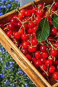 Harvest of cherries griotte