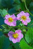 Strawberry Blossom Flowers, Vegetable Garden, Provence, France