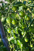 Cherry tomato 'Sweet', Provence, France