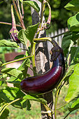 Eggplant normal long, Vegetable garden, Provence, France