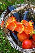 Eggplant, Tomatoes and flowers of gladiolus, Vegetable garden, Provence, France
