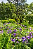 Geranium (Geranium sp) flowers, Eric Borja Zen Garden, Beaumont-Monteux, Drome, France
