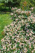 Weigelia (Weigela sp) flowers, Eric Borja Zen Garden, Beaumont-Monteux, Drome, France