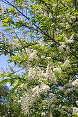Gooseneck loosestrife (Lysimachia clethroides) flowers, Eric Borja Zen Garden, Beaumont-Monteux, Drome, France