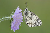 Marbled White (Melanargia galathea) on flower, France