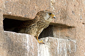Kestrel (Falco tinnunculus) emerging from its nest in an old sandstone wall, France