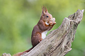 Eurasian red Squirrel (Sciurus vulgaris) eating on a branch, France
