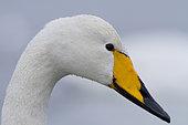 Portrait of Whooper Swan (Cygnus cygnus), France