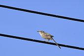 Arabian babbler (Turdoides squamiceps) perching on a power line, Saudi Arabia