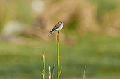 Spotted flycatcher (Muscicapa striata) on reed, Saudi Arabia