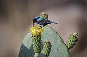 Palestine sunbird (Cinnyris osea) male on prickly pear flower (Opuntia ficus indica), pollination, Asir Mountains, Saudi Arabia