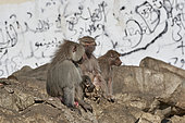 Hamadryas baboon (Papio hamadryas), female holding the carcass of her dead young, Saudi Arabia