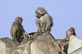Hamadryas baboon (Papio hamadryas), male and female holding the carcass of her dead young, Saudi Arabia