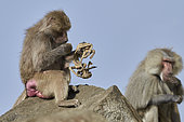 Hamadryas baboon (Papio hamadryas), female looking at the carcass of her dead young, Saudi Arabia