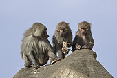 Hamadryas baboon (Papio hamadryas), male avec two females holding at the carcasses of their dead youngs, Saudi Arabia