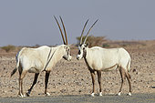 Two Arabian oryx (Oryx leucoryx) facing eachother, Najd Plateau, Saudi Arabia