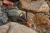 Oriental wasp (Vespa orientalis), drinking, Saudi Arabia