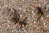 Frelons orientaux (Vespa orientalis) et mouches (Scarcophaga ruficornis) et (Musca domestica), se nourrissant de débris de poisson, Arabie Saoudite