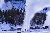 American bison (Bison bison), Yellowstone National Park, USA