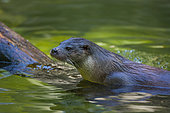 European otter (Lutra lutra), also known as the Eurasian otter, Eurasian river otter, common otter, and Old World otter