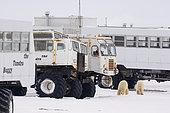 Ours polaire (Ursus maritimus) et véhicule de vision, Churchill, Baie d'Hudson, Canada