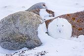 Arctic hare (Lepus arcticus), or polar rabbit in snowy tundra, Churchill, Hudson Bay, Manitoba, Canada, America