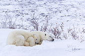 Polar Bear (Ursus maritimus) and young, Churchill, Hudson Bay, Manitoba, Canada, America