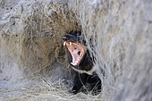 Diable de Tasmanie (Sarcophilus harrisii) baillant à l'entrée de sa tanière. Tasmanie