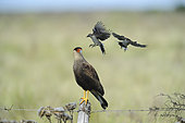Southern Crested Caracara (Caracara plancus) attacked by two Patagonian mocking birds (Mimus patagonicus), Patagonia, Argentina