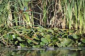European kingfisher (Alcedo atthis) female perched on a reed over a pond with a moorhen, Lorraine, France